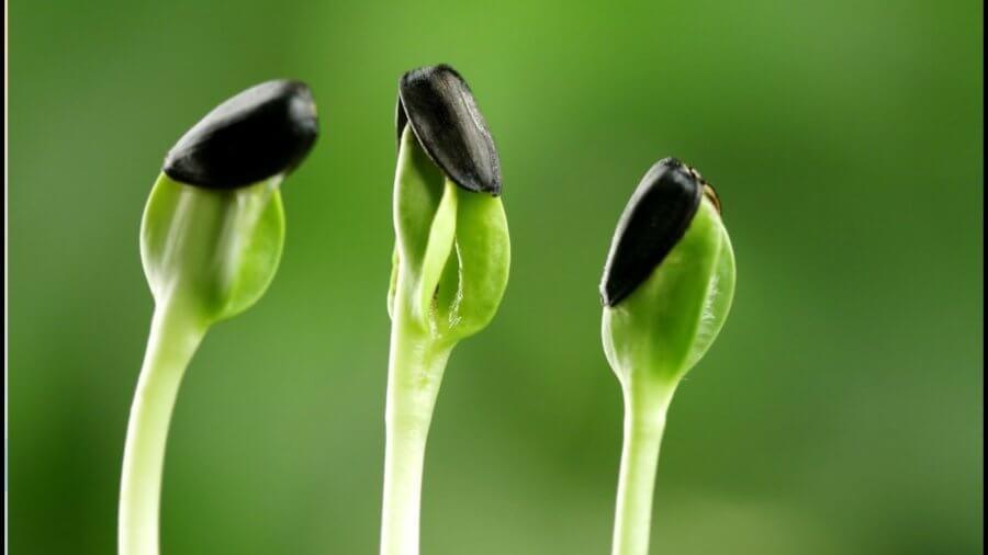 Проростки подсолнечника являются ценным продуктом с высоким содержанием белка.